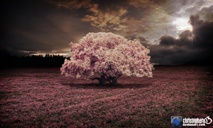 Cherry Blossom by Christophere13