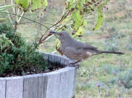 Curve-billed Thrasher  3 by hclausen