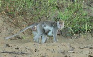 Macaque with baby by Mararda