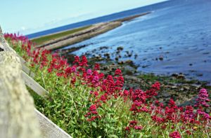 Flowers on the Holy Island by BirdsInFlight