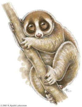 100 Primates - Slow Loris by kyoht