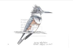 Belted Kingfisher044 by SarmatianWarrior