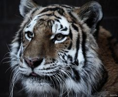 Portrait of a Tiger by Innocentium