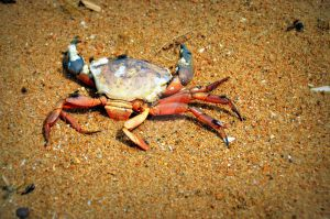 crab by angelofrock