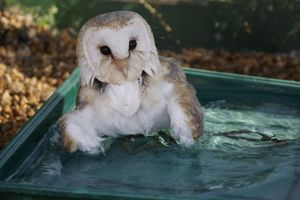 Barn owls bath time by stitchyG