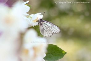 butterfly on a bush jasmine by ElaynaTeos
