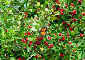 Butterfly and Berries.... by TriciaStucenski