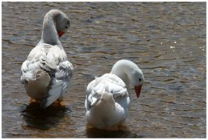 the young goslings by Claudia008