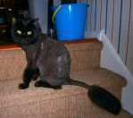 shaved kittah by BndDigis