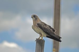 Redtail Hawk by PamplemousseCeil