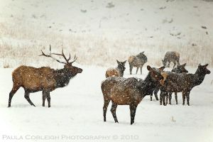 Elk in Snow by La-Vita-a-Bella