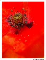 When the poppies bloom by andrea-ioana