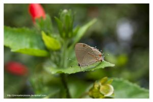 Satyrium butterfly by Jimmasterpieces