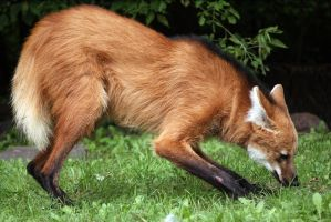 Maned Wolf by Vertor