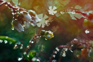 Water drops and flowers by Bomb-Creator