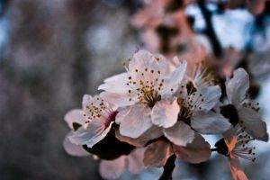 blossom by Iinvy