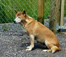 new guinea singing dog by awjay