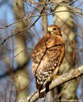 Year end of 2016 Hawk 2 by natureguy