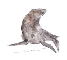 South American Fur Seal by TomHenderson