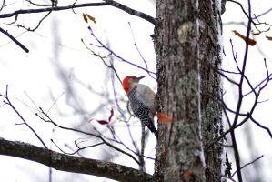 Red Headed Pecker 1 by exarobibliologist