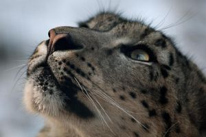 Snowleopard by Abyssinians