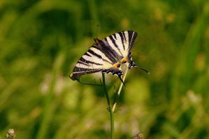 Scarce Swallowtail 2 by Topasdragon