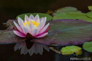 Water Lily by fotomanisch