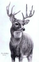 Realistic Deer by annoKat