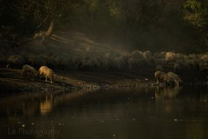 sheep by Lk-Photography