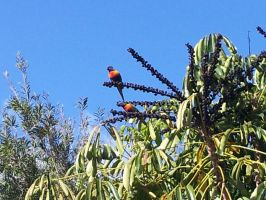 Rainbow Lorikeets having lunch by Roses-and-Feathers