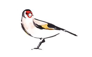 Goldfinch by TomHenderson