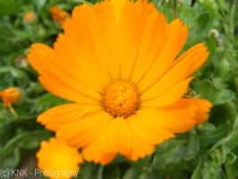 Orange Flower by KNK-Photography