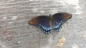 Red-Spotted Purple by Redwolfvirus