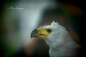 African fish eagle. by Phototubby