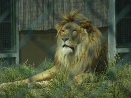 Kassanga The African Lion by HappilyWild