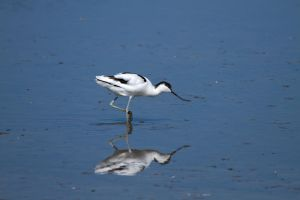Avocet Heaven by parallel-pam