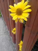 yellow flowers and fence by JoeJonasFans92