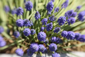 Grape Hyacinth Explosion by froggynaan