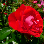 Blossoming Red Rose by emilymhanson