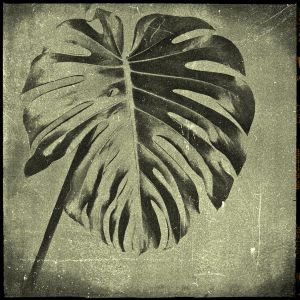 Monstera deliciosa by cameraflou