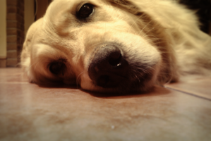 lazy dog is lazy by TomRolfe