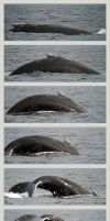 Diving Humpback by Louvargent