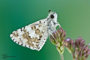 Common Checkered Skipper - Pyrgus communis by ColinHuttonPhoto