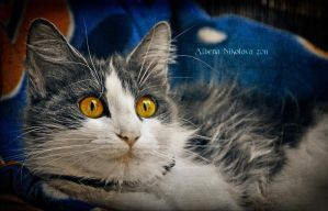 Blue look yellow eyes by Alharaca
