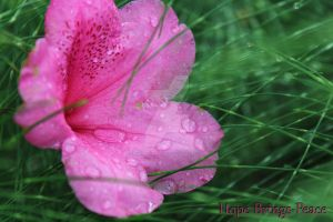 Rhododendron with Raindrops by Hope-Brings-Peace