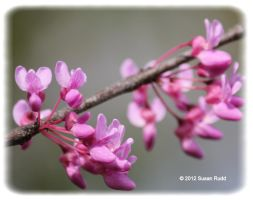 Red Bud Tree Blooms by Rjet33