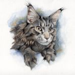 A maine coon cat by thai-binturong