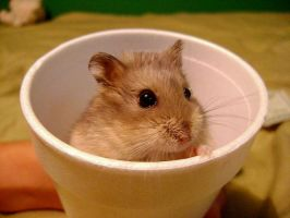 Hamster in a cup. by aliciabandee