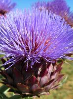 Artichoke in bloom by Earthmagic