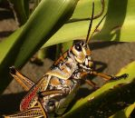 monster grasshopper by CorazondeDios